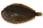 New Zealand Sole (Peltorhamphus novaezealandiae)
